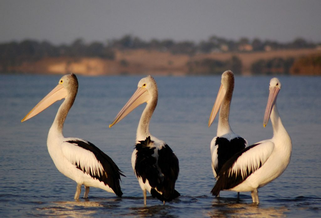 Gippslandia #06 - Love Our Lakes - Great Pelican Count